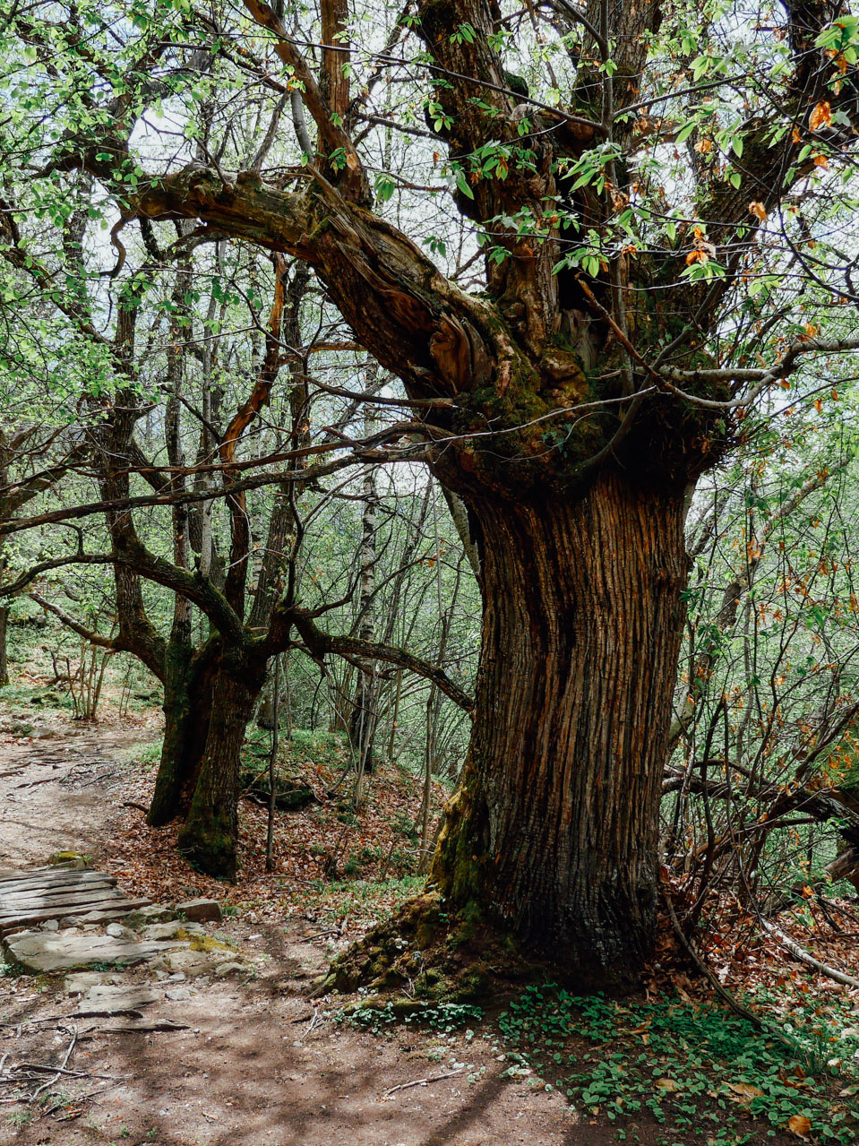 Details of ancient tree.
