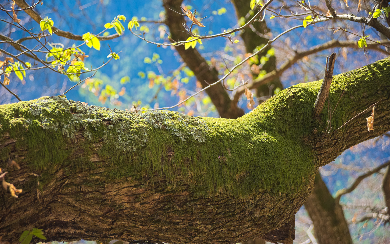 Moss growing on trees is a wonder of Nature.