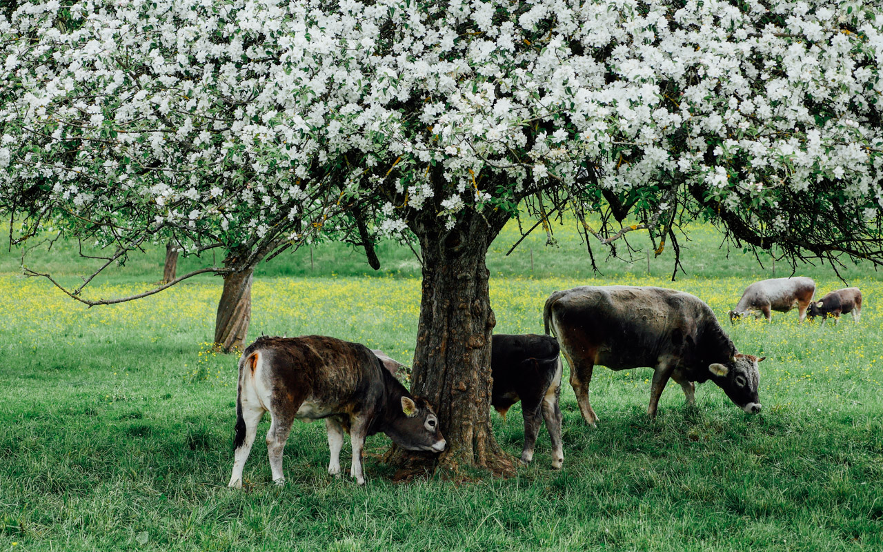 Cows scouting for apples under the Apple tree.