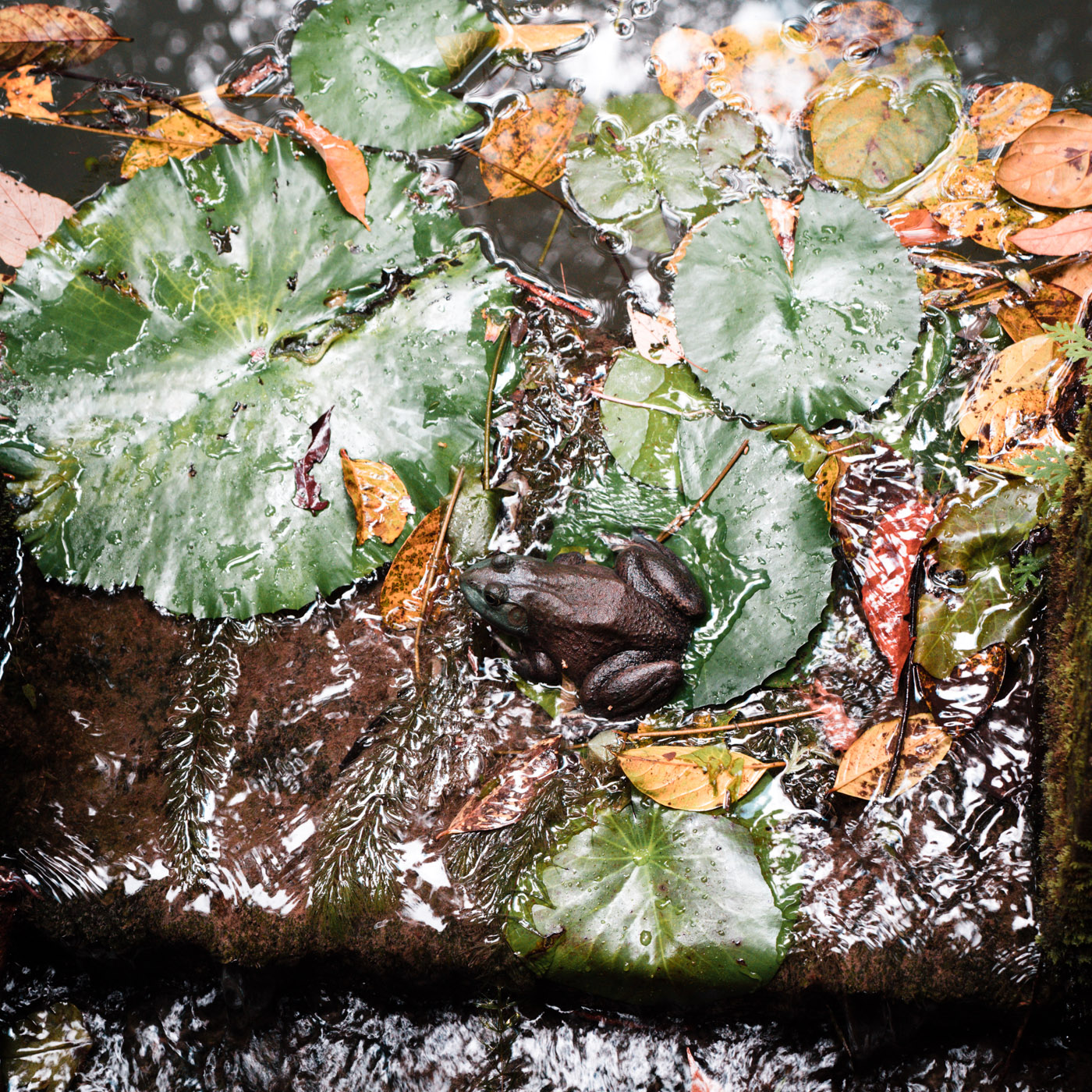and a frog at the Lily Pond in Penang Botanical Garden.